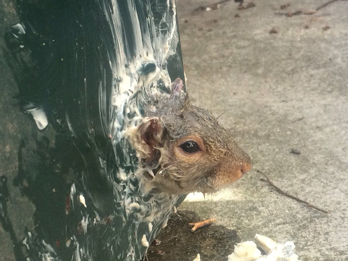 This squirrel, buttery and ashamed, got stuck in the drain of a dumpster. Took him to @NE_Wildlife for a spa day. https://t.co/HFqj4lDY1A