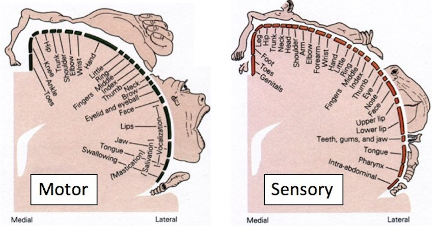 "In the motor and somatosensory (body senses of touch/position) systems, these are maps of body space: ""somatotopic"" maps. https://t.co/D4FgFrujro"