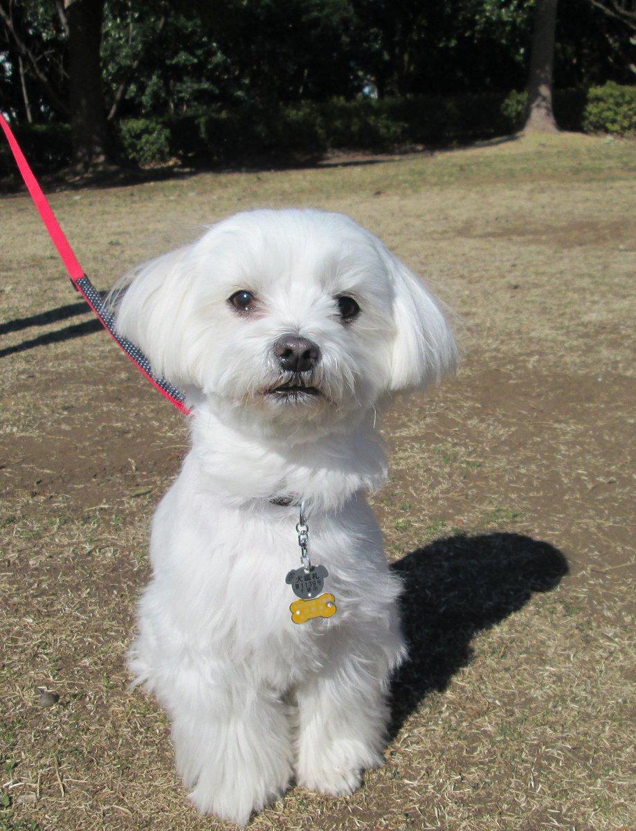 Resultado de imagen para maltese 犬  怖い