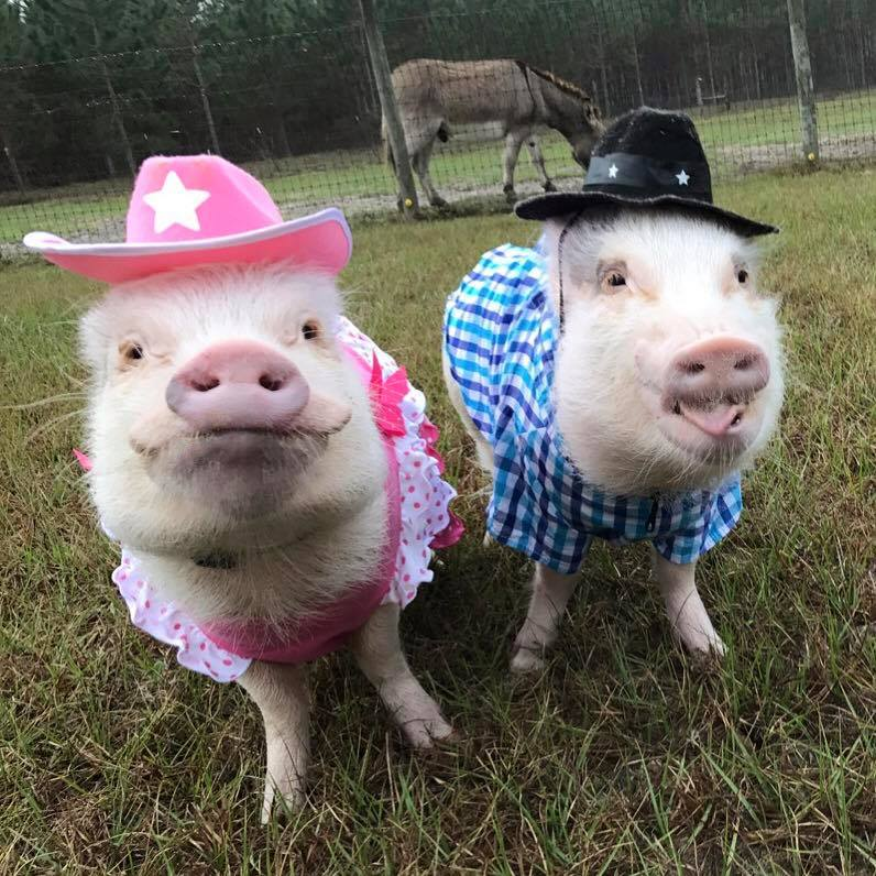 Pigs in hats are the best thing ever. Please support #WearAHatDay for #BrainTumour Research  #Hattastic Pic thanks to @prissy_pig https://t.co/Djq5nLfaK3