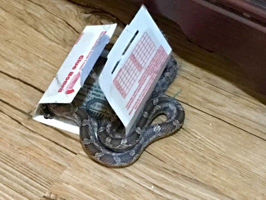 Live snake found stuck to sticky trap inside ETX home
