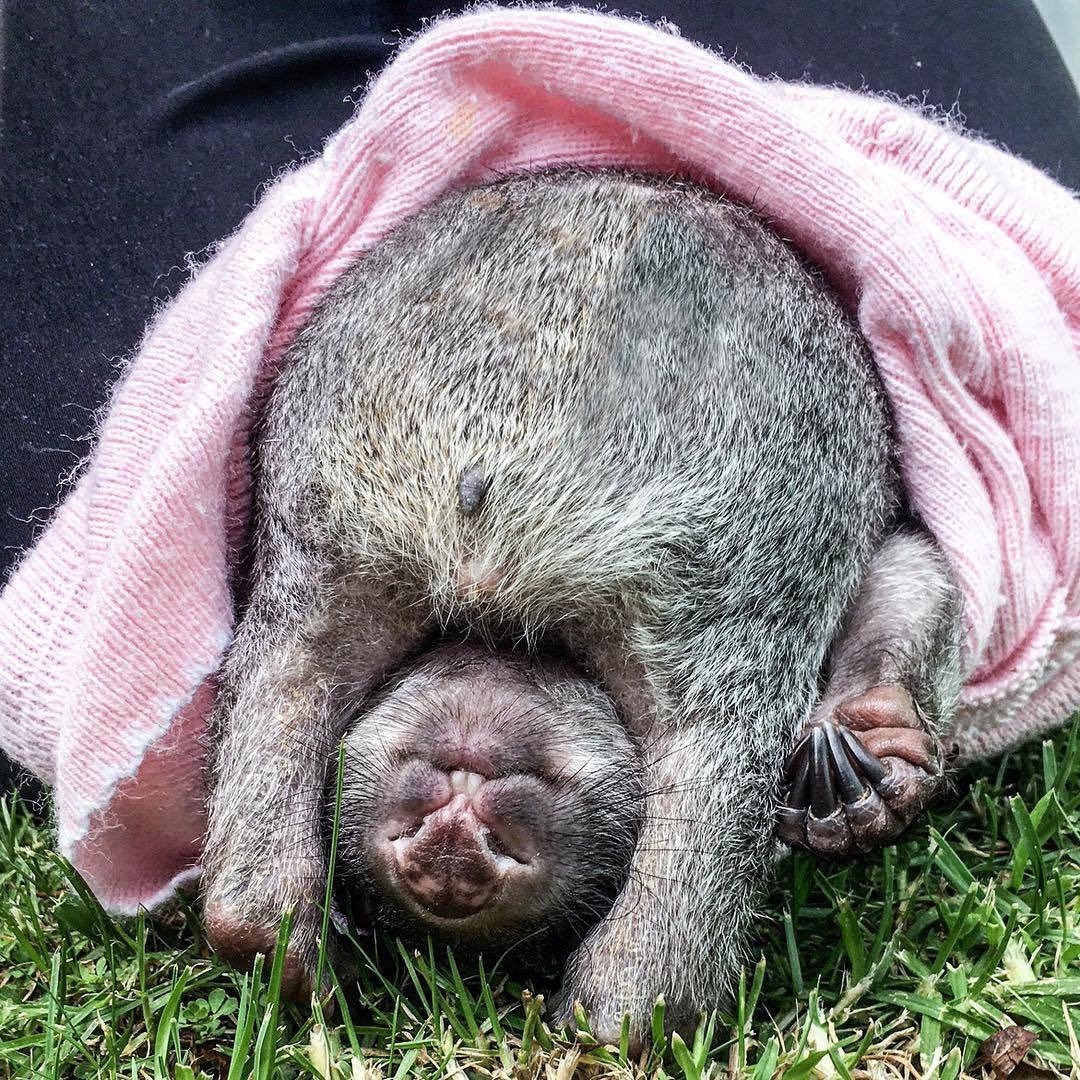 Thanks to @FlindersIsland and @pettore for enlivening my day with wombats https://t.co/6HxkcbGRdf