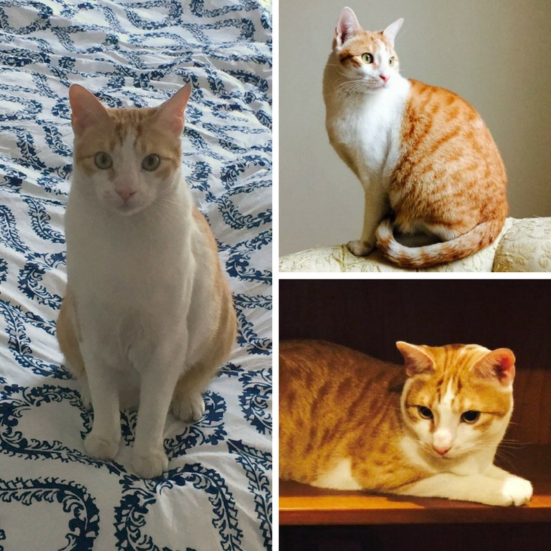 Franklin, super-friendly, super-cute all-around nice guy needs a home! 2 yo #cat in NYC.