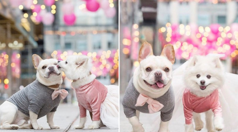 Bulldog And Pomeranian's Engagement Photos Will Have You Wishing For A Wedding Invite