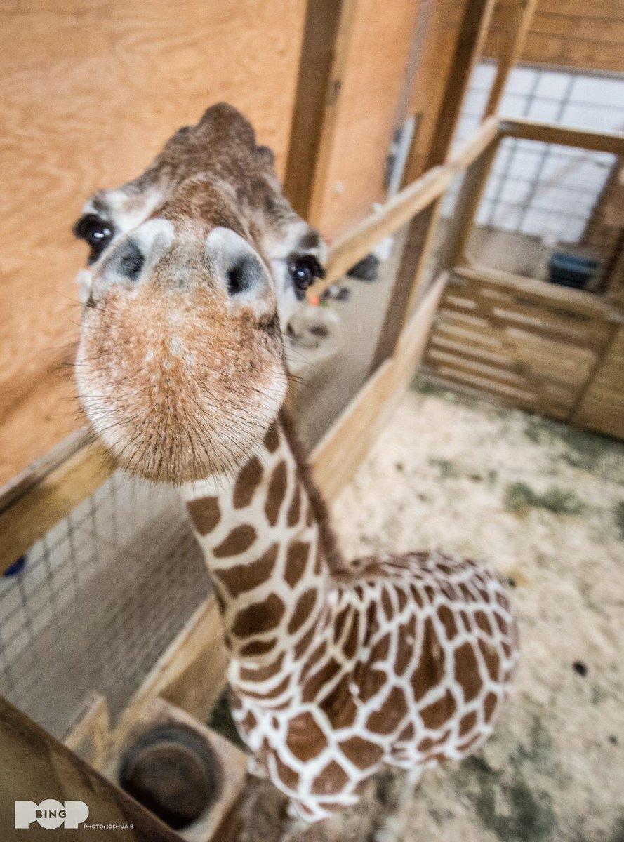Открытки поздравления, прикольные жирафы картинки на русском
