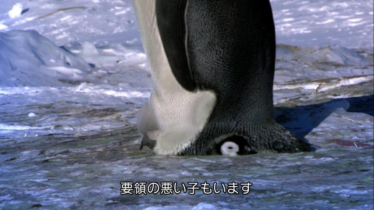 お母さん気づいて!歩行練習中の赤ちゃんペンギンがお母さんの下敷きに…