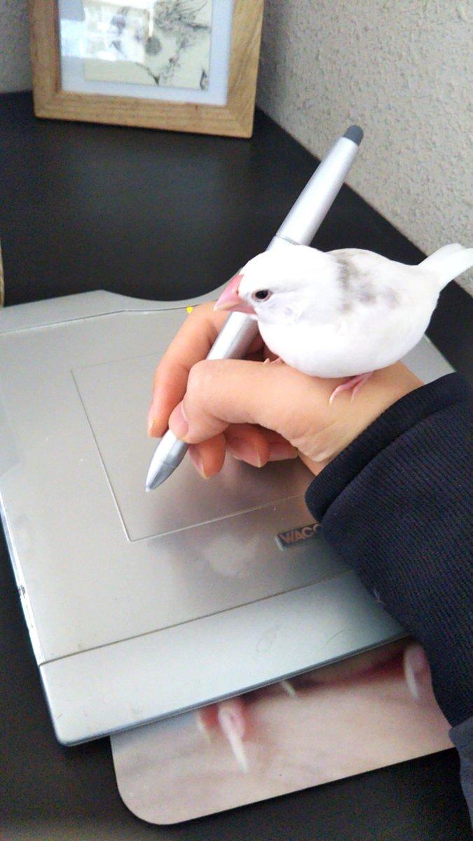 文鳥が邪魔しかしないくそかわいいちくしょうかわいいかわいい pic.twitter.com/kM5nULLCic