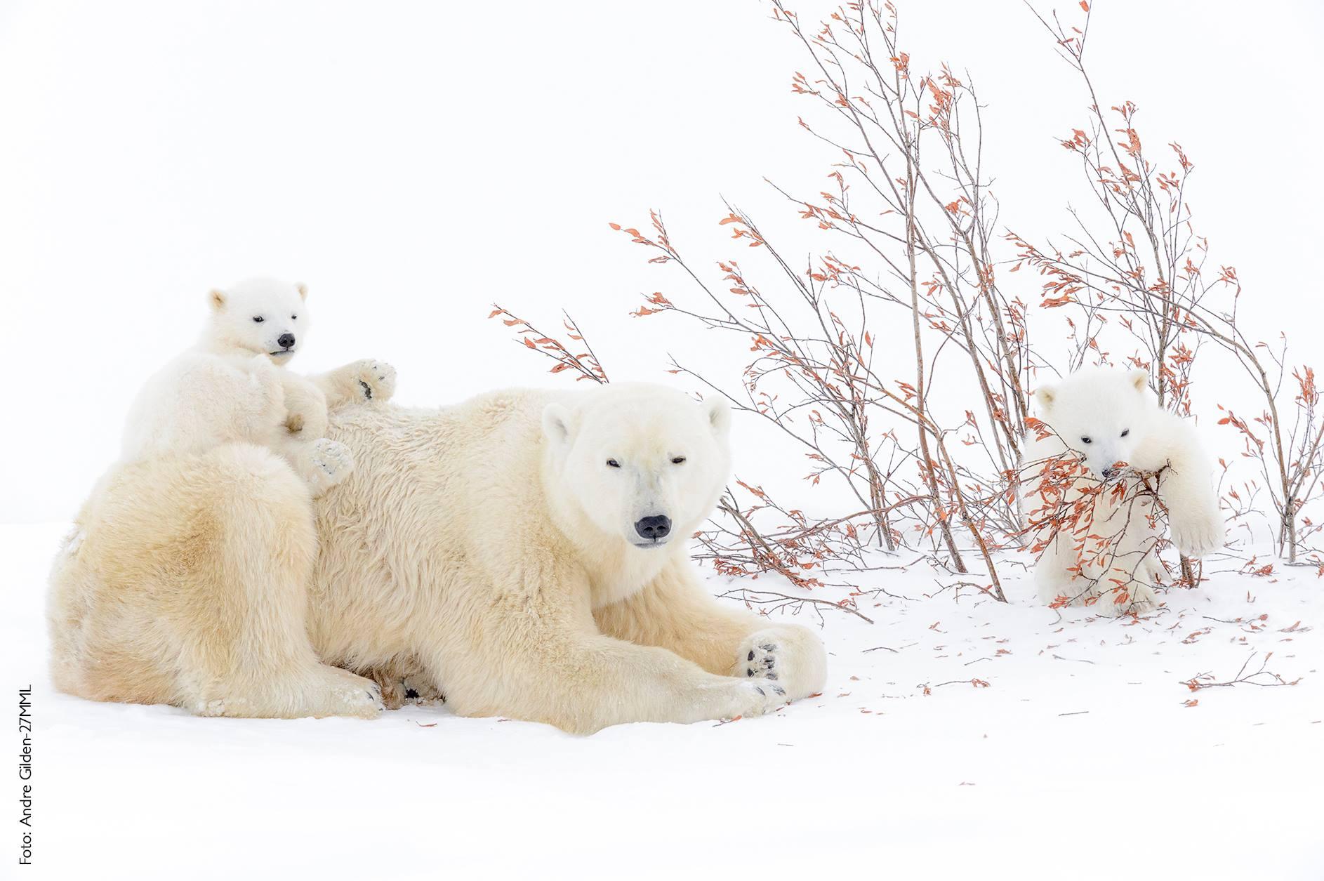 Play hour Andre Gilden osos polares