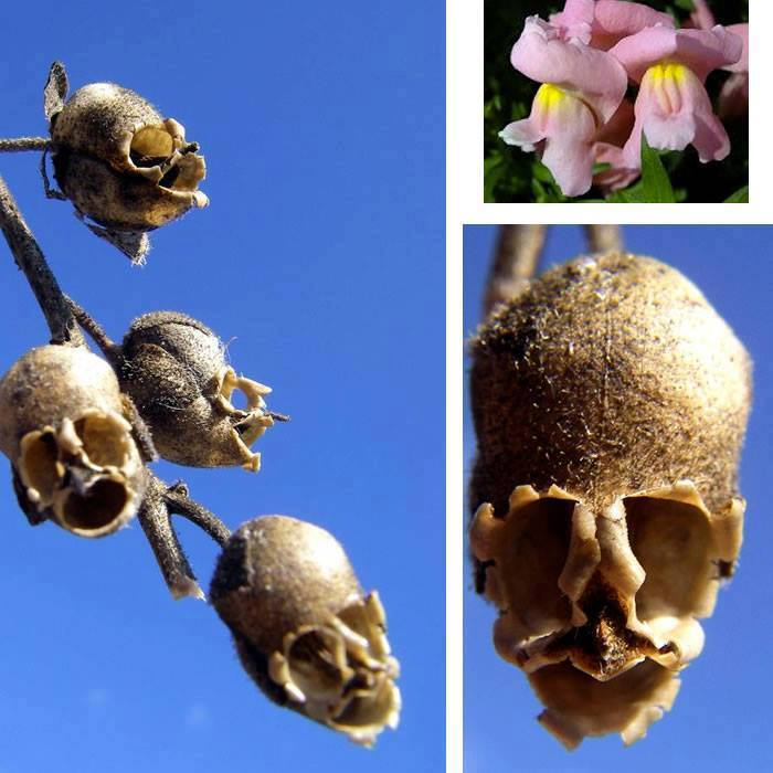 Snapdragons make cute flowers, but when they die, they turn into macabre skulls. https://t.co/UQVP1NF88O