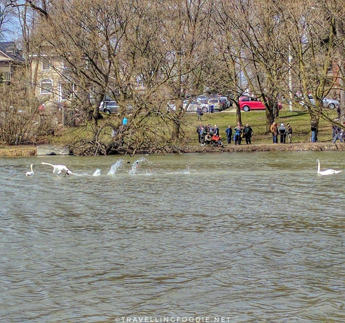 Stratford Swan Parade: Swans released to the Avon River