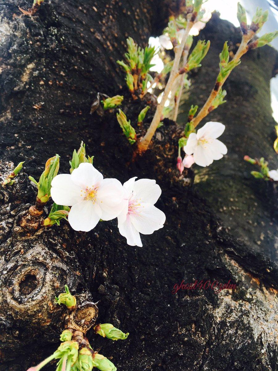 花びら あ つもり 桜の