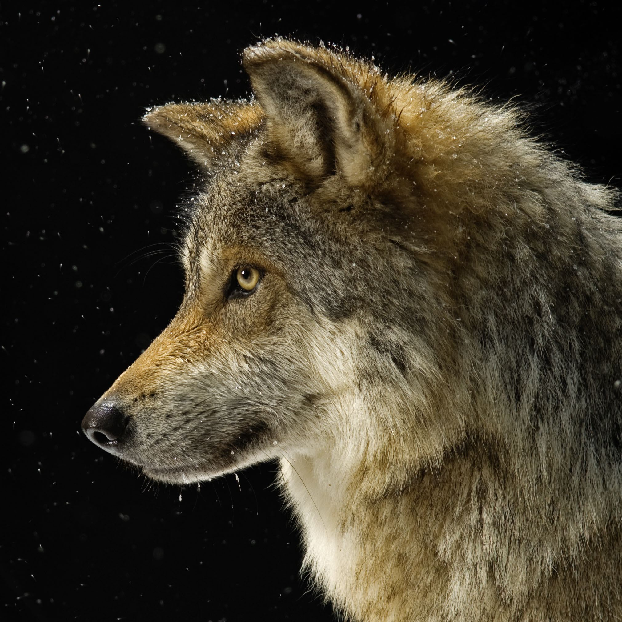 幻想的!狼のキレイな壁紙を高画質な画像でまとめました!