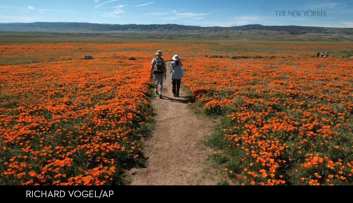 The New Yorker On Twitter At The Antelope Valley Poppy Reserve