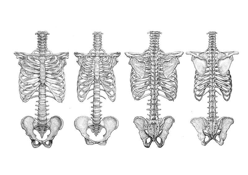 男女の体幹の骨格図。並べてみると違いがよくわかる。 https://t.co/DKMayJRGvs