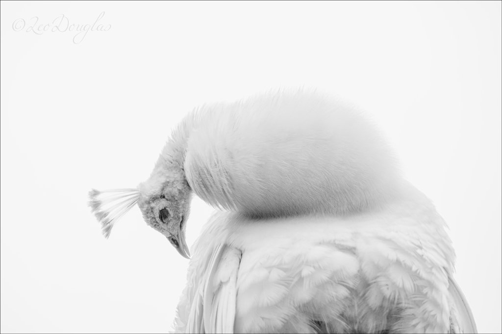 .@Geordiedoug1 espies a preening peacock for his #WexMondays entry. Lovely stuff https://t.co/n5BtNsN6K9