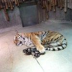 飛び込み上手そうwかわいい格好で寝てる虎がいるw