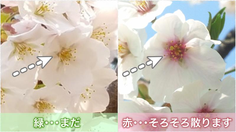 ここが赤くなったら桜の花が散るサイン!現在、咲いている桜の3〜4割が花散りサインを出していました。 ↓桜の花色調査結果
