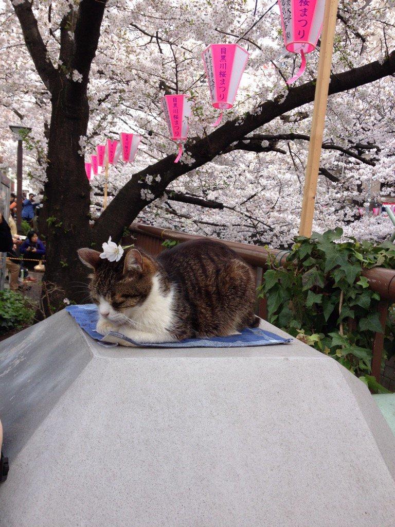 目黒川の猫・頭に桜を載せている https://t.co/yeg7sFNIGG