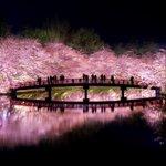 桜咲く日本の景色w美しすぎて近所の桜がただの花にしか思えない!
