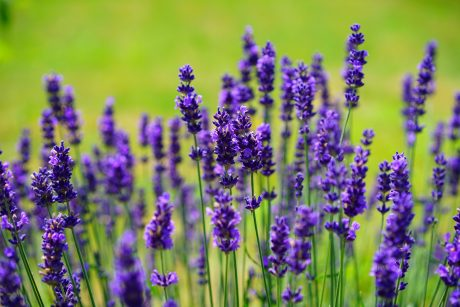 10 Ways to Use Lavender Oil on Your Body and in Your Home