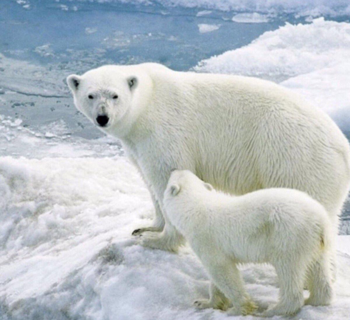 Good morning Apr.20 2017 9:17am Thur. #wildlife #SaveTheWhitebear #whitebears  #hunting #zoo #NHK <br>http://pic.twitter.com/3McUEjszeS