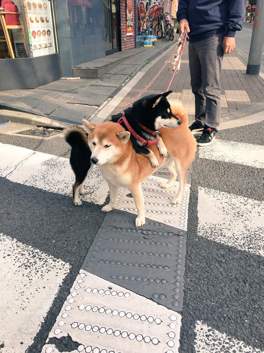 どーしてもあっちの方をよく見たい黒と、いつもこういう使い方をされているらしい茶色。  #柴犬