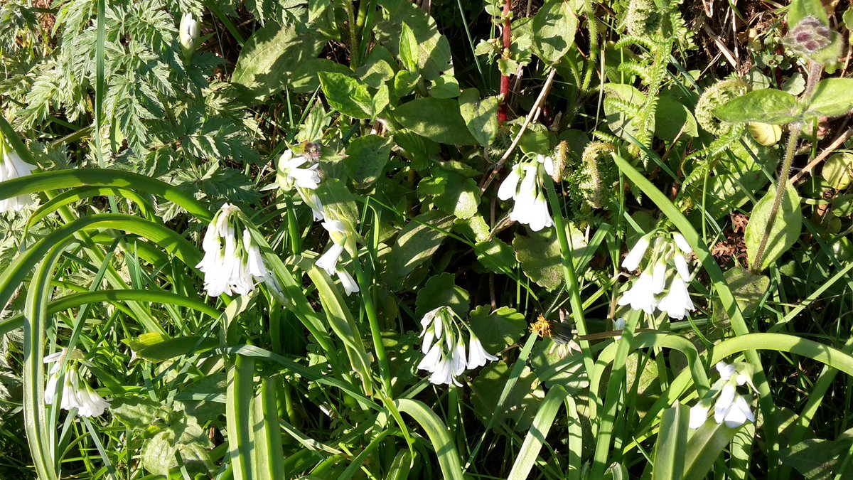 Lovely spring flowers on walk down to Talland Bay #lovecornwall #ilovelooe #flowers #spring