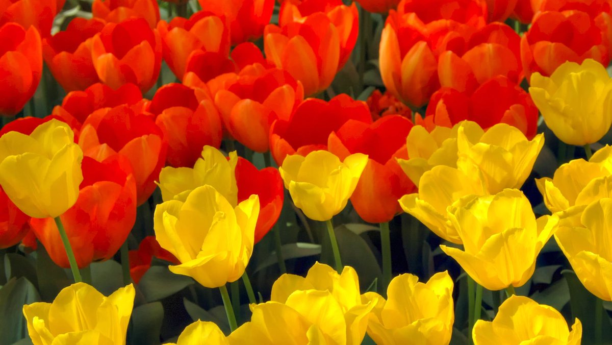8 Incredibly #BeautifulPlaces to See #SpringFlowers   https://www. budgettravel.com/article/8-incr edibly-beautiful-places-to-see-spring-flowers_52747 &nbsp; …  via @BudgetTravel #TravelTheWorld  Keukenhof Gardens#Amsterdam <br>http://pic.twitter.com/ReVHRqPaCI