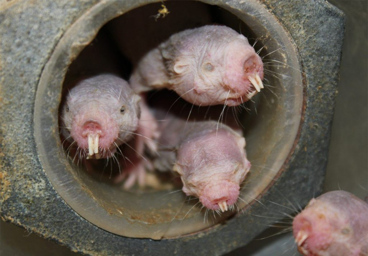 Naked mole-rats are now even weirder: Without oxygen, they live like plants wapo.st/2pjIdc8