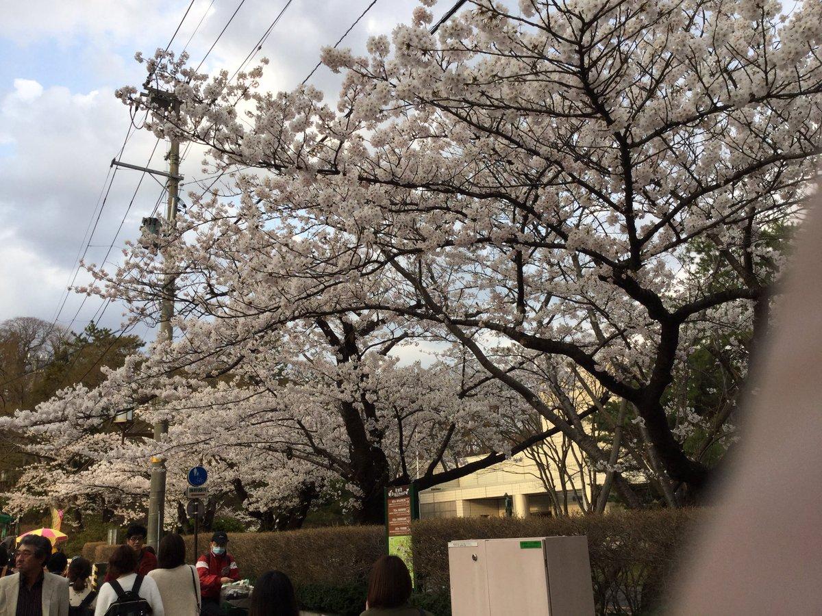 秋田の桜は満開みゃあ‼️