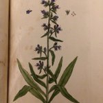 What would you do for a venomous snake bite in the 1700s? Elizabeth Blackwell recommends the plant Vipers-Bugloss. https://t.co/NDGsRJ8wpz