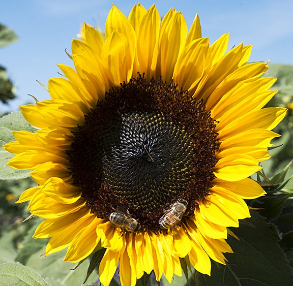 Mature sunflower head with seeds stock photo
