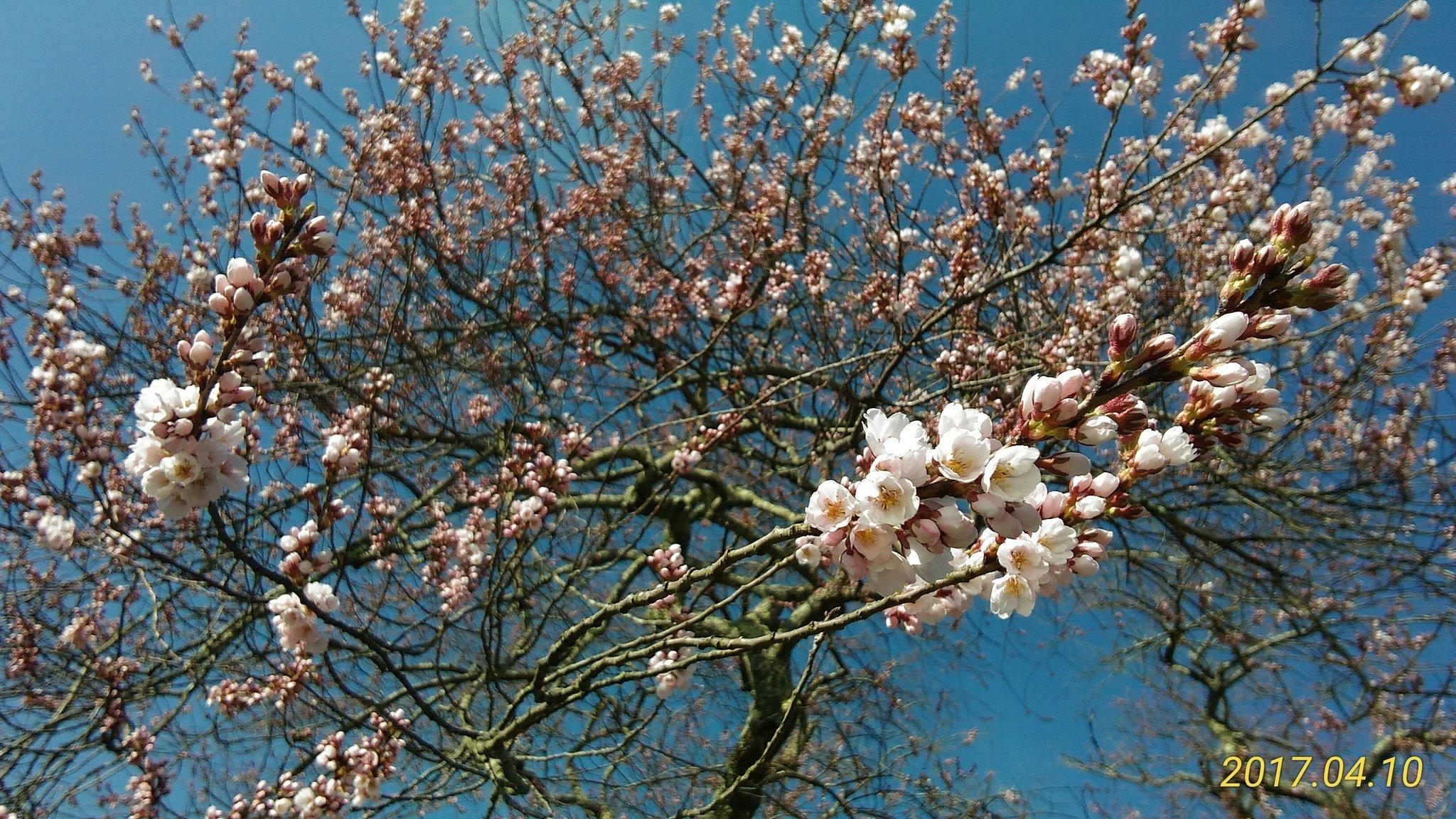 桜前線到着。