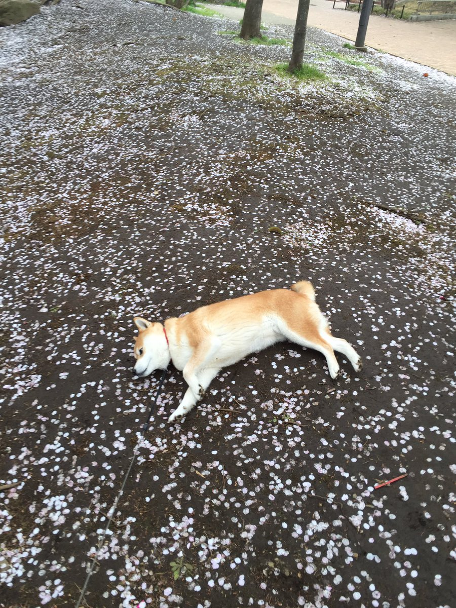 咲きて散りなば 桜花 継ぎて横になる 我が犬よ #万葉集