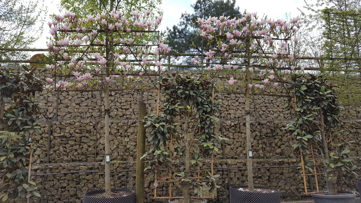 Majestic Trees On Twitter Pleached Magnolia Heaven Scent