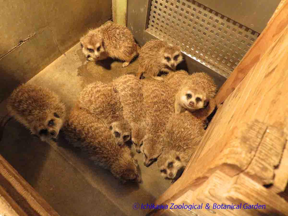 「外寒いぃ」「雨降ってるぅ」「昨日頑張ったから休むぅ」「疲れたぁ」「腰痛いぃ」「やる気出ないぃ」「やだやらない」「お腹すいたぁ」「絶対無理」「有給でお願いします」 #市川市動植物園 #ミーアキャット pic.twitter.com/FJpOsrlv7T