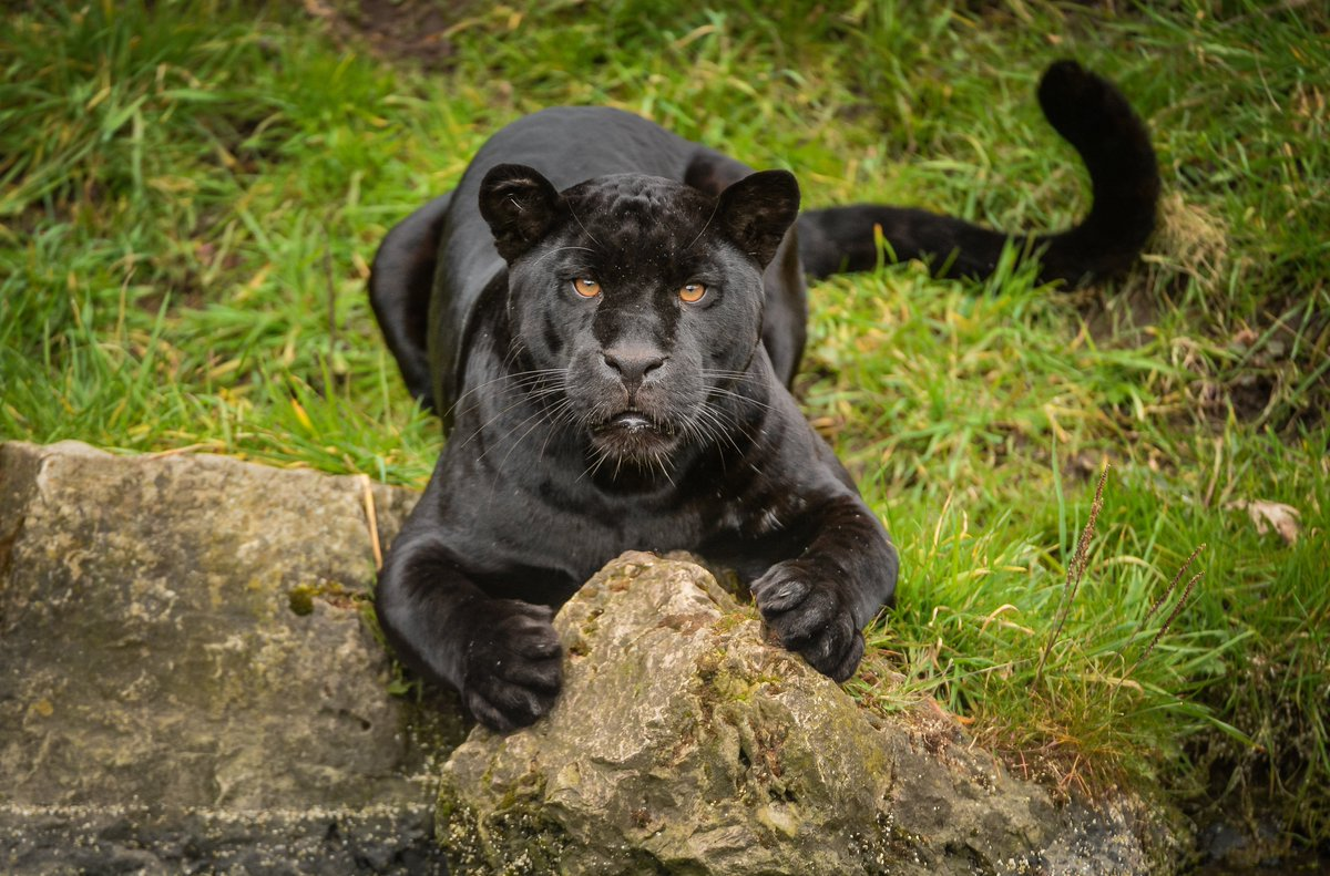 Chester Zoo On Twitter Did You Know A Panther Is Just A Generic