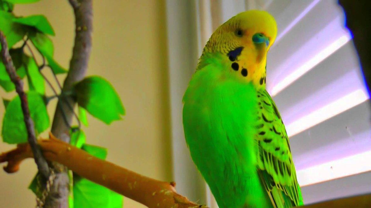 Как научить #попугая говорить ? Статья на сайте нашего #питомника.   #питомник #птиц
