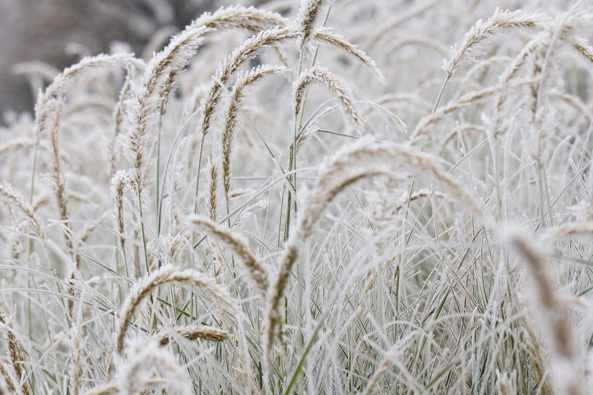 The rhs on twitter pennisetum fairy tails is one of the nicest popular grasses its our 2008 rhs plant finder choice httprhsplants270958pennisetum fairy tailsdetails picitterwm2utd5q34 workwithnaturefo