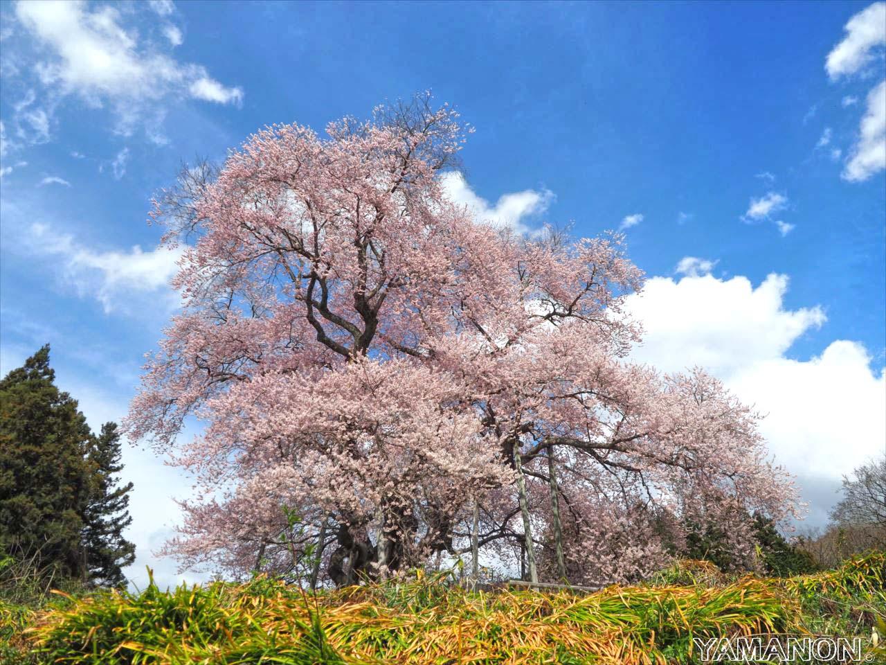 戸津辺の桜2017