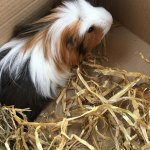 NOT that Piggy Smalls (R.I.P) could ever be replaced...  but we've replaced Piggy Smalls.   Meet the new company guinea pig Wilson.