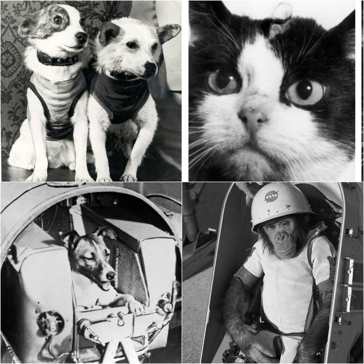 """Animal Planet on Twitter: """"On this International Day of Human Space Flight,  don't forget the brave animals that paved the way: Laika, Ham, Felicette,  Belka & Strelka.… https://t.co/j3BljMQsGs"""""""
