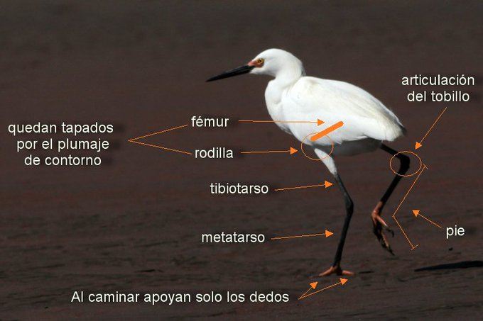 Me preguntan por qué en las aves las rodillas se doblan al revés. Esas no son las rodillas ¡son los tobillos!