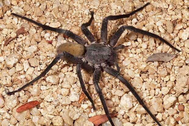 ¡Aterrador! Descubren en México una nueva especie de araña gigante