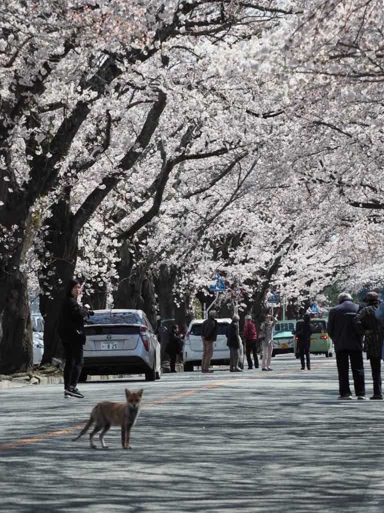 夜の森の桜2017