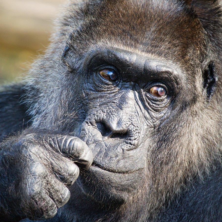 Alles Liebe zum 60. Geburtstag! Happy 60th Birthday! #ZooBerlin #Fatou #gorilla #geburtstag #birthday #happybirthday  http://www. instagram.com/zooberlin  &nbsp;  <br>http://pic.twitter.com/oJuaN8GHX0