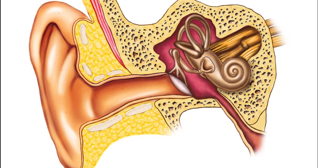 Webmd On Twitter Severe Head Trauma Can Dislocate Middle Ear Bones