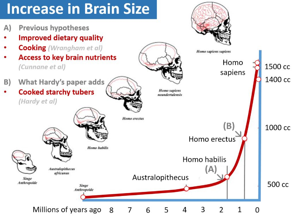 brain evolution in the human species Human specialization in brain organization and function is apparent at several levels of organization • although humans have comparably large brains, brain size alone does not fully explain the cognitive faculties of our species.