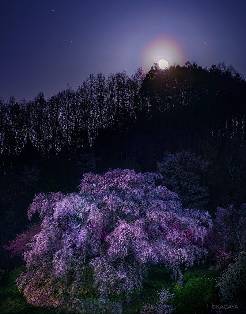 桜の古木と居待月。 (昨日、奈良県宇陀市の又兵衛桜にて撮影) 今日もお疲れさまでした。明日も穏やかな1日になりますように。