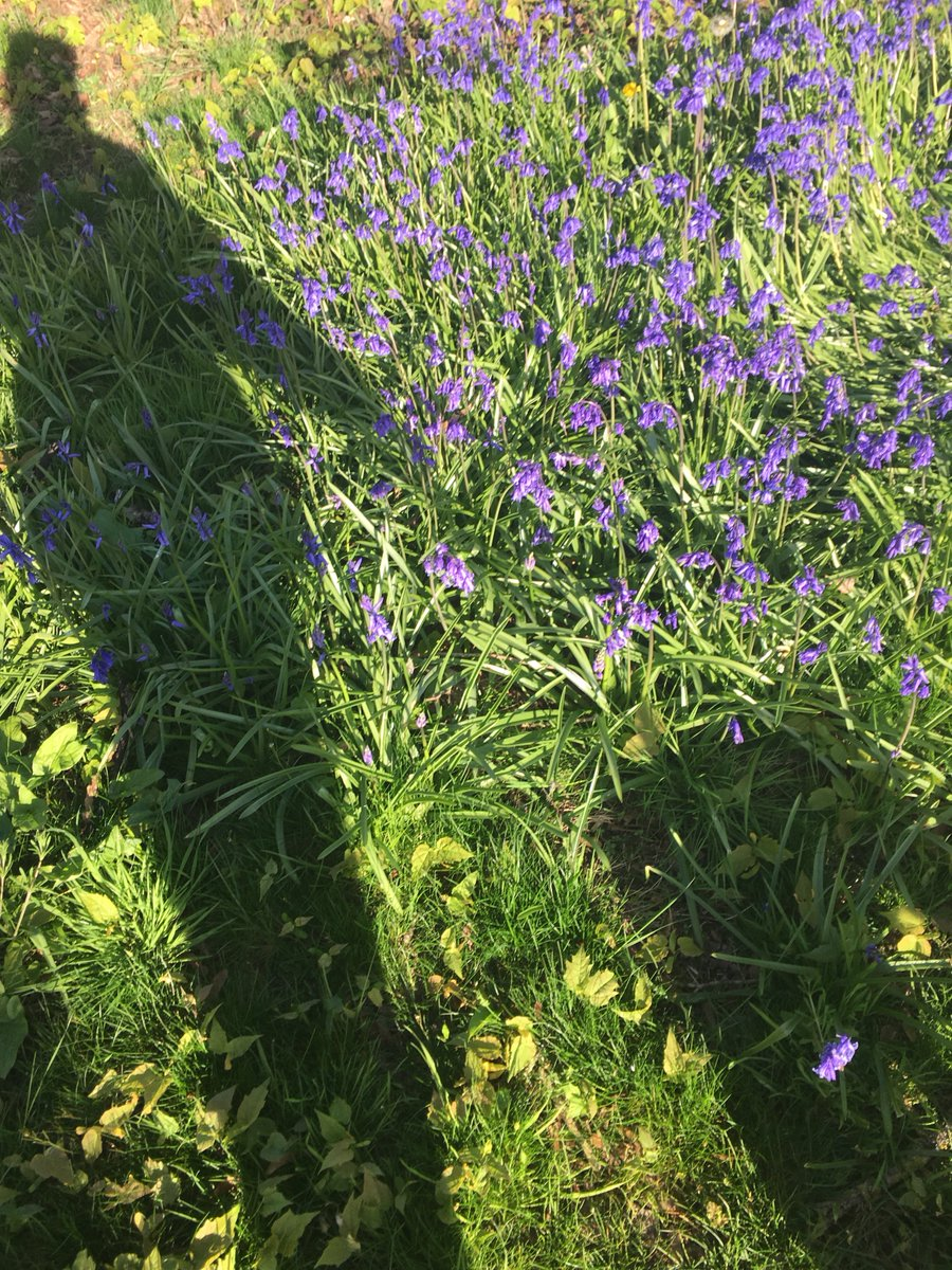 On a sunny #EasterSunday me, #Leia &amp; our #shadows go walking near them delicate #Bluebells I spoke of yesterday. The simple things in #life<br>http://pic.twitter.com/Kx8WzFU5cK